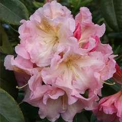 Rhododendron x 'Fanch Quéré':C7.5L