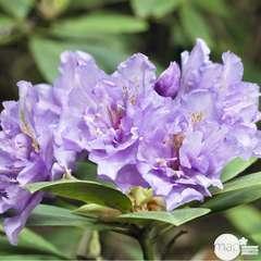 Rhododendron x 'Fastuosum Flore Pleno': 7.5 L (bleu lilas)
