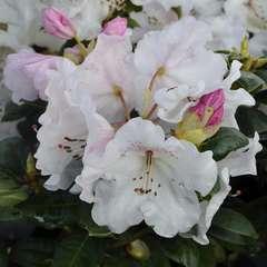 Rhododendron x 'Garten Direktor Rieger':conteneur 7.5L