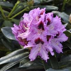 Rhododendron x 'Kabarett':conteneur 7.5L