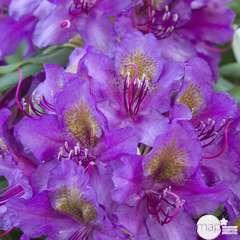 Rhododendron hybride ' Marcel Ménard ':7,5 litres (violet pourpre)
