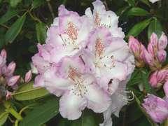 Rhododendron X Mrs C. Pearson : C..7,5L