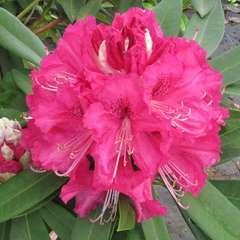 Rhododendron x 'Southampthonia':conteneur 7.5L