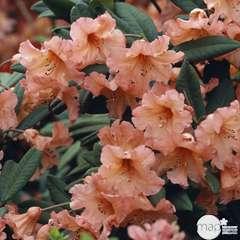 Rhododendron x 'Tortoisehell':conteneur 7,5L