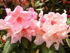 Rhododendron X Virignia Richards : C.7,5L