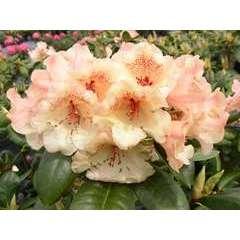 Rhododendron x 'Viscy':conteneur 7.5L