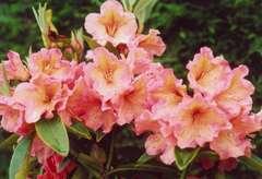 Rhododendron X Olga : C.7,5L