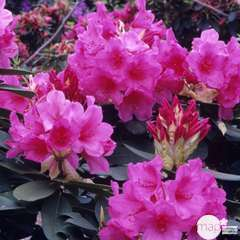 Rhododendron x 'Anna Rose Whitney' : 80 litres  (rose carminée)