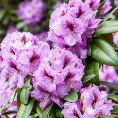 Rhododendron X Arthur Bedford : C. 80L