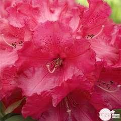 Rhododendron x 'Markeeta's Prize' : 80 litres (rouge vif)