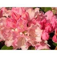 Rhododendron yakushimanum 'Dreamland' : 4 litres  (rose vif)