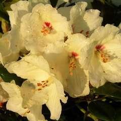 Rhododendron yakushimanum 'Flava' : C4L