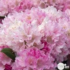 Rhododendron yakushimanum 'Kalinka': 4L (rose clair bord rose foncé)