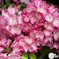 Rhododendron yakushimanum 'Morgenrot':4 L (rose soutenu)