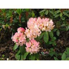 Rhododendron yakushimanum 'Percy Wiseman' : 4L (rose crème et jaune)