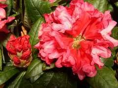 Rhododendron Yak Clivia : C.4L