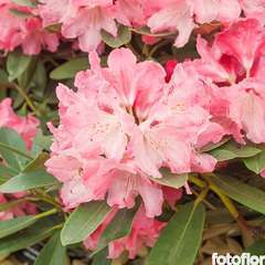Rhododendron Yak Atchoum : C.7,5L