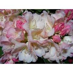 Rhododendron yakushimanum 'Golden Torch' : 7.5L (rose s'ouvrant jaune)