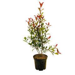 Photinia 'Carré rouge':pot 7L