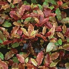 Pittosporum Tenuifolium  'Tom Thumb' : C3L