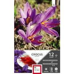 Bulbes de crocus à grandes fleurs 'Sativus' - x12