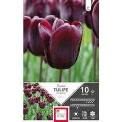 Bulbes de tulipes triomphe 'Ronaldo' - x10