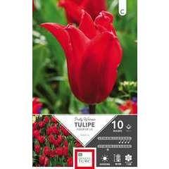 Bulbes de tulipes Fleurs de Lys 'Pretty Woman' - x10