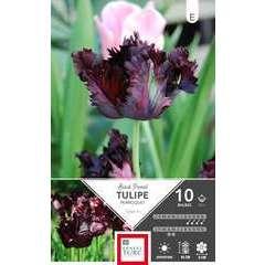 Bulbes de tulipes perroquet 'Black Parrot' - x10