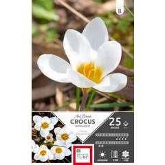 Bulbes de crocus chrysanthus - x25