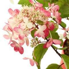 Hydrangea Paniculata variété protégée: C.7,5L