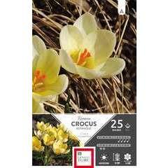Bulbes de crocus chrysanthus 'Romance' - x25