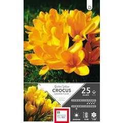 Bulbes de crocus à grandes fleurs 'Yelow' - x25