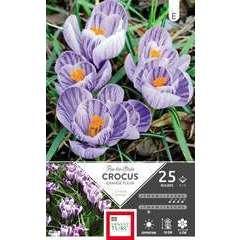 Bulbes de crocus à grandes fleurs 'Roi Strie' - x25