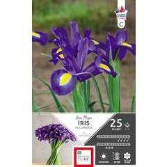 Bulbes d'iris de Hollandica 'Blue Magic' - x25