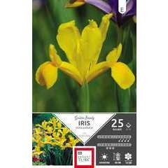 Bulbes d'iris hollandica 'Golden beauty' - x25