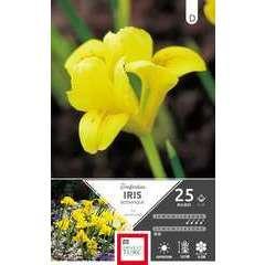 Bulbes d'iris reticulata 'Danfordiae' - x25