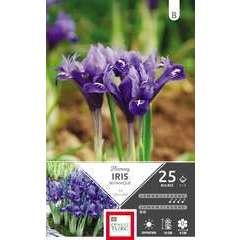 Bulbes d'iris reticulata 'Harmony' - x25