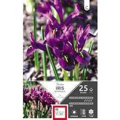 Bulbes d'iris reticulata 'Pauline' - x25