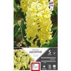Bulbes de jacinthes de Bretagne 'Yellow Stone' - x5