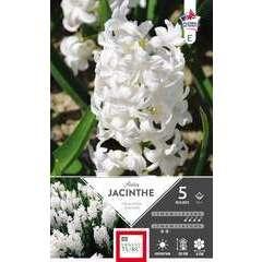 Bulbes de jacinthes de Bretagne 'Aiolos' - x5