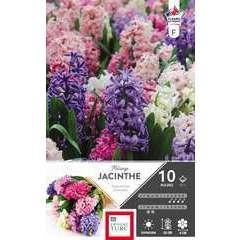 Bulbes de jacinthes de Bretagne variées - x10