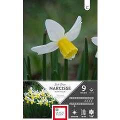 Bulbes de narcisses cyclamineus 'Jack Snipe' - x9