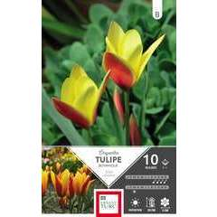 Bulbes de tulipes clusiana 'Chrysantha' - x10