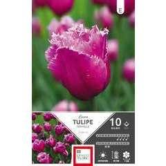 Bulbes de tulipes dentelle 'Louvre' - x10