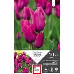 Bulbes de tulipes pluriflore 'Purple Bouquet' - x10