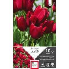 Bulbes de tulipes 'Red Georgett' - x10