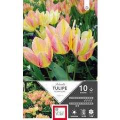 Bulbes de tulipes pluriflore 'Antoinette' - x10
