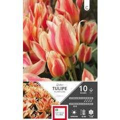Bulbes de tulipes pluriflore 'Quebec' - x10