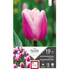 Bulbes de tulipes simples hâtives 'Aafke' - x10