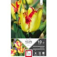 Bulbes de tulipes simples hâtives 'Cape Town' - x10